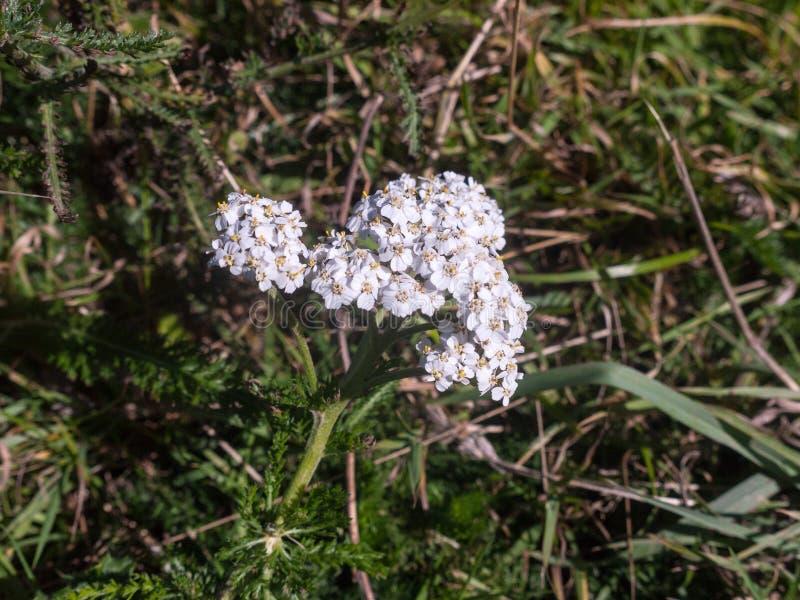 biały wildflower krwawnik zamknięty w górę płatek natury pięknych zdrowie zdjęcia stock