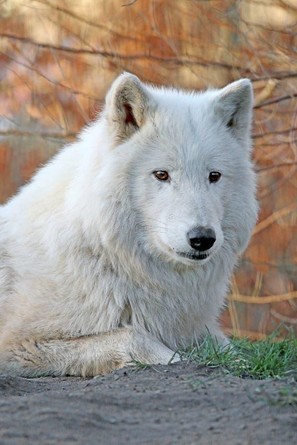 Biały wilk w lesie zdjęcie stock