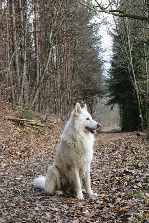 Biały wilk w niemiecki lasowy patrzeć w odległości zdjęcia stock