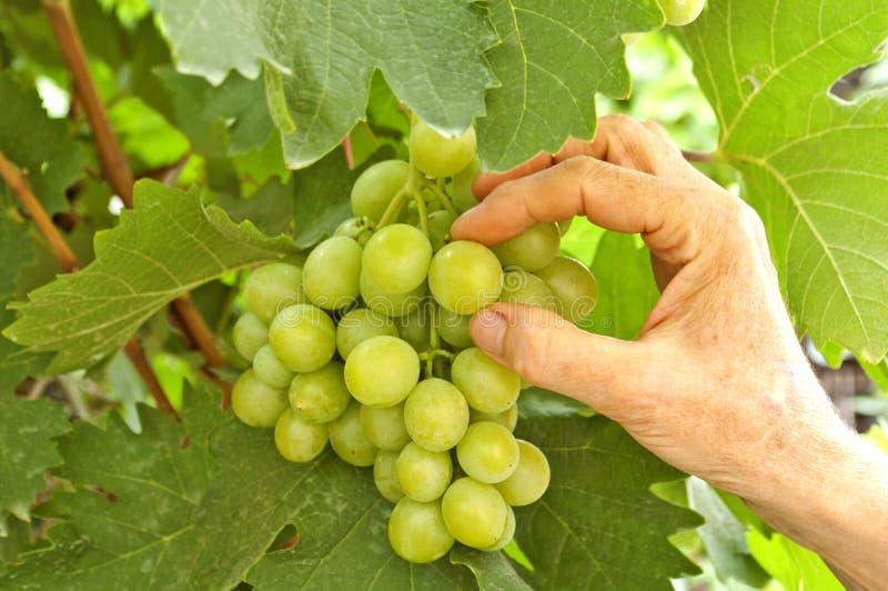 Biały winogrona zdjęcia stock