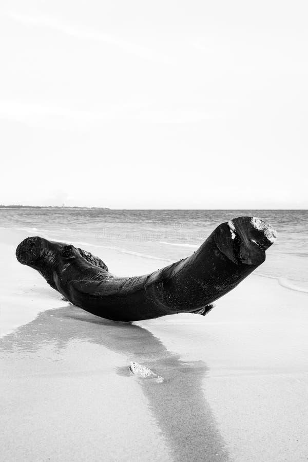 Biały wizerunek nieżywy drzewny bagażnik na opustoszałej plaży obrazy stock