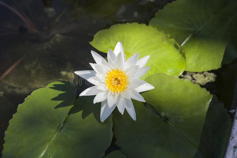Biały Wodnej lelui kwiat w stawie, odgórny widok obrazy stock