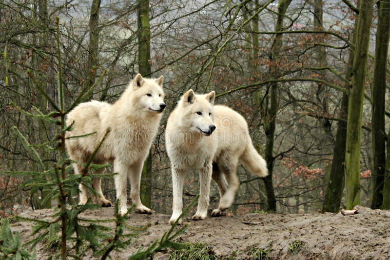 Biały Wolfs w lesie obraz royalty free