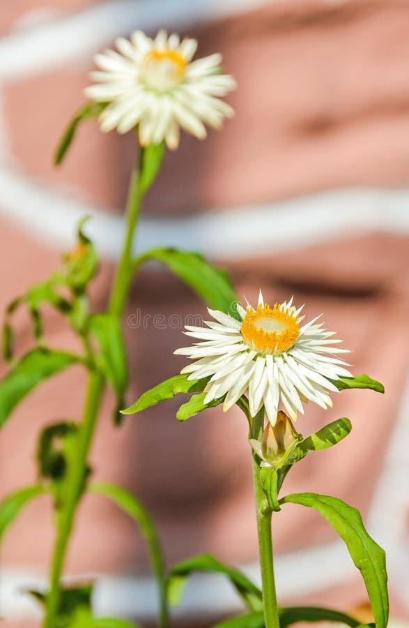 Biały Xerochrysum bracteatum kwitnie, powszechnie zna jako złoty wiecznotrwały strawflower lub, rodzinny Asteraceae zdjęcie stock