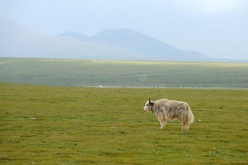 Biały yak obrazy royalty free
