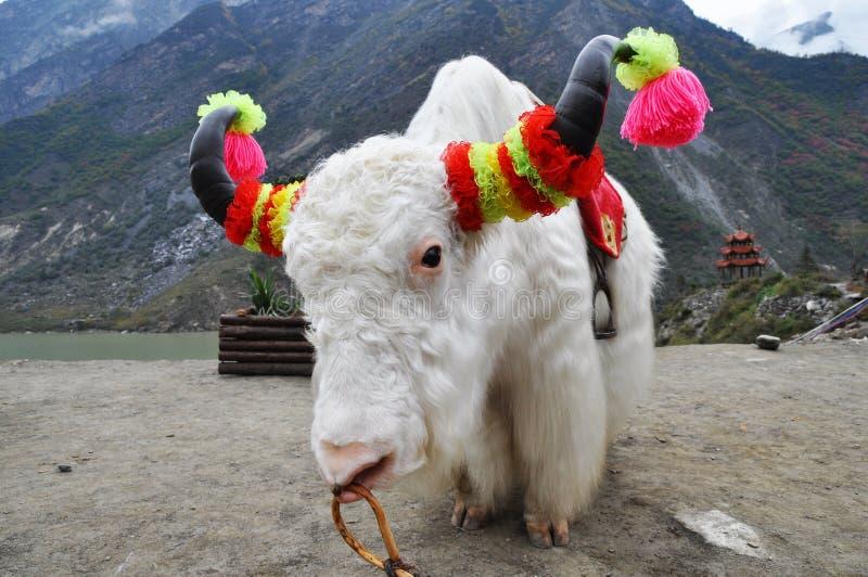 Biały yak zdjęcie stock