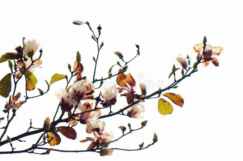 biały yulan zdjęcia royalty free