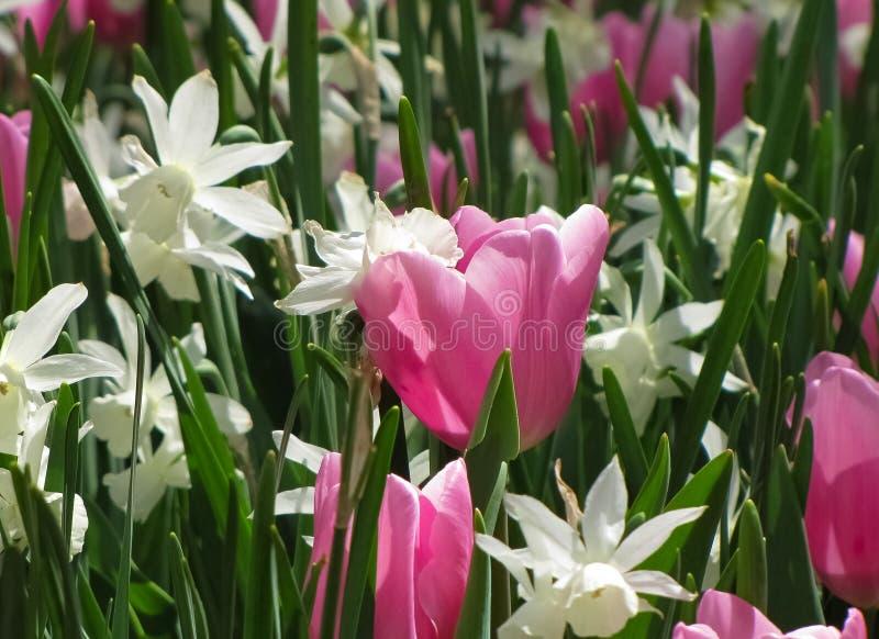 Białych Daffodils Makro- Różowy tulipan obrazy royalty free