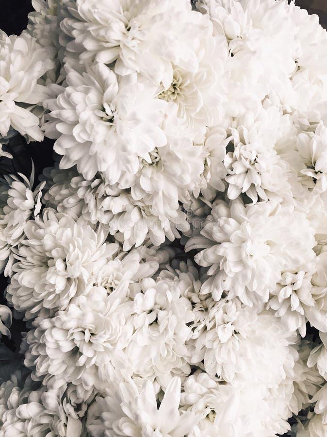 Białych kwiatów chryzantemy obraz royalty free