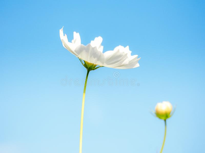 Białych kwiatów kosmos w łące, niebieskiego nieba tło obrazy stock