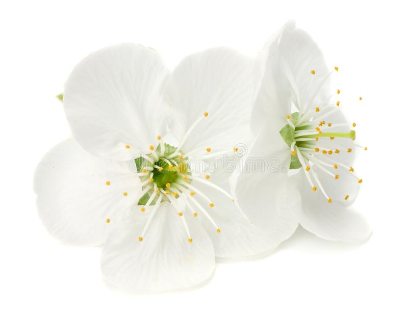białych kwiatów okwitnięcia odizolowywający na białym tle Żółty kornaliny wiśni kwiat zdjęcia stock