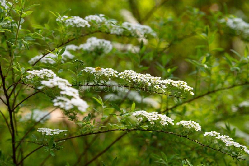 Białych kwiatów spirea gałąź dla Tapetowego projekta t?o szczeg Bia?y t?o projekt Kwiat dekoracje ?wi?teczny obraz stock
