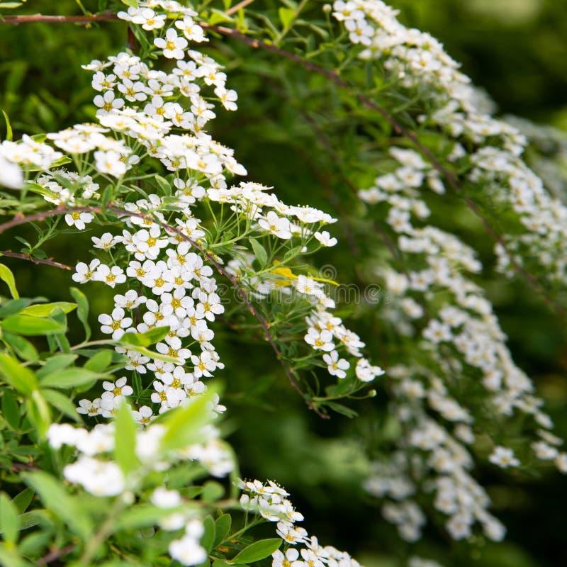 Białych kwiatów spirea gałąź dla Tapetowego projekta t?o szczeg obrazy stock