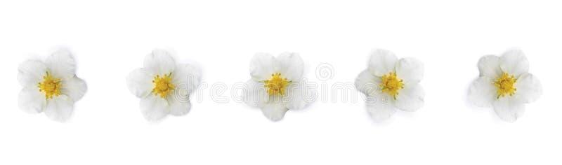 Białych kwiatów sztandar, wiatrów kwiaty odizolowywający na białym tle Kwiatu wz?r ilustracja wektor
