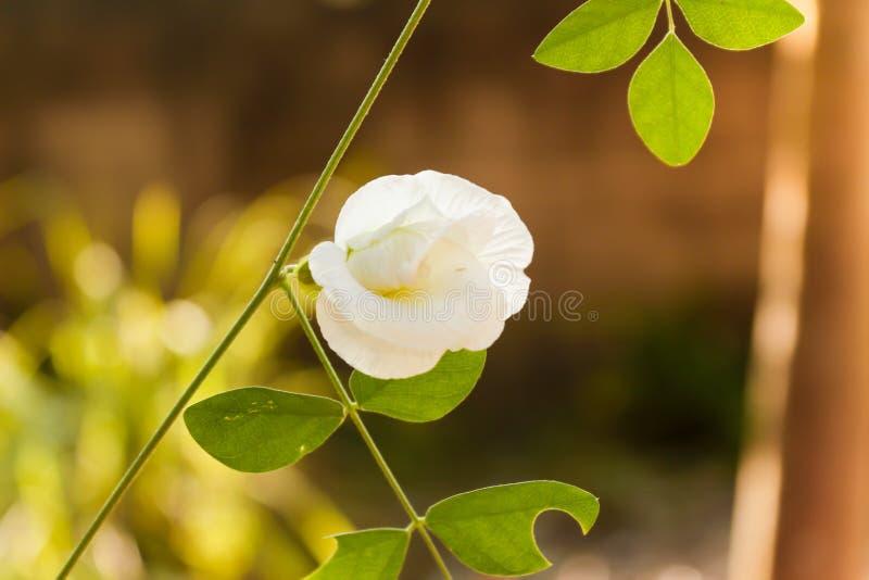 Białych kwiatów tła czerń wieczór przy Surat Tajlandia obraz royalty free