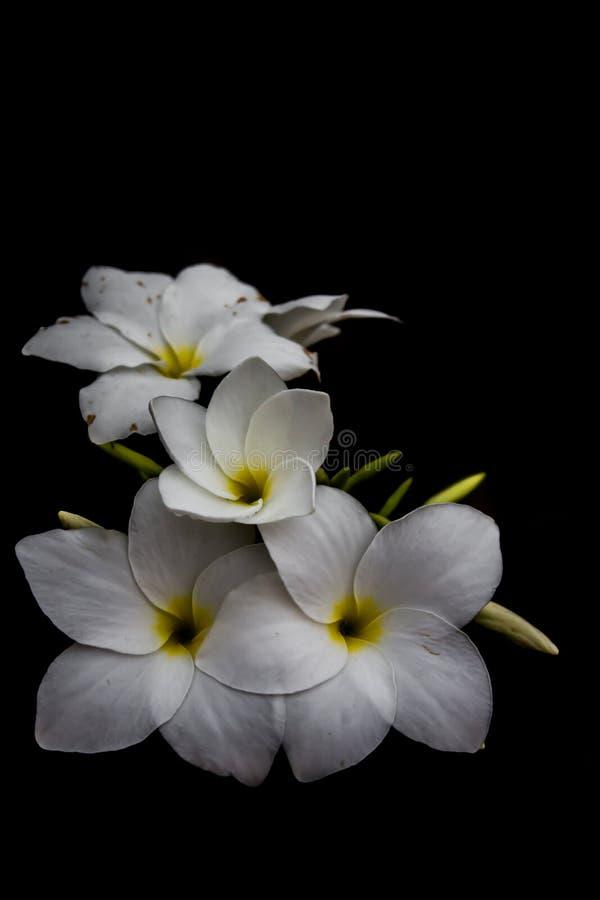 Białych kwiatów tła czerń wieczór przy Surat Tajlandia zdjęcia royalty free