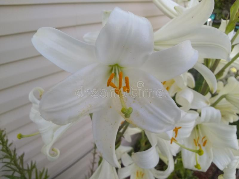 Białych kwiatów w połowie pasmo zdjęcie royalty free