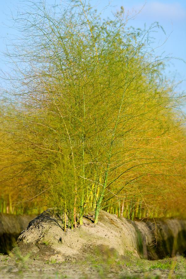 Białych szparagowych rośliien Szparagowi officinalis na holendera gospodarstwie rolnym, zdjęcie royalty free