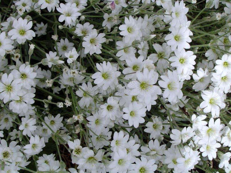 Download Białe kwiaty obraz stock. Obraz złożonej z wiązka, płatek - 130921