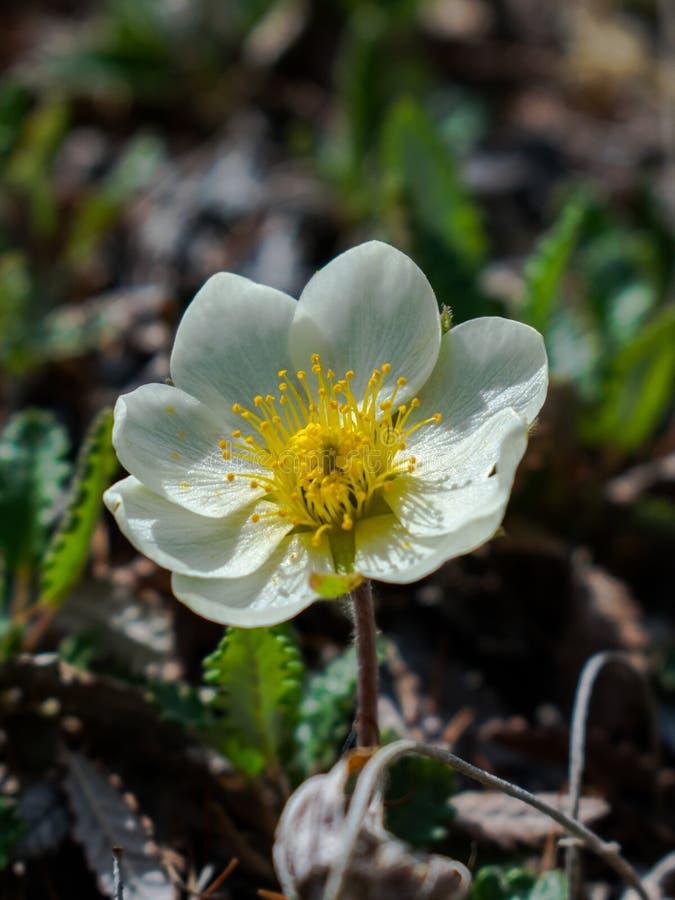 bia?e kwiaty Anemonowy lasowy lat Anemóne sylvéstris są odwiecznie zielnym rośliną zdjęcia royalty free