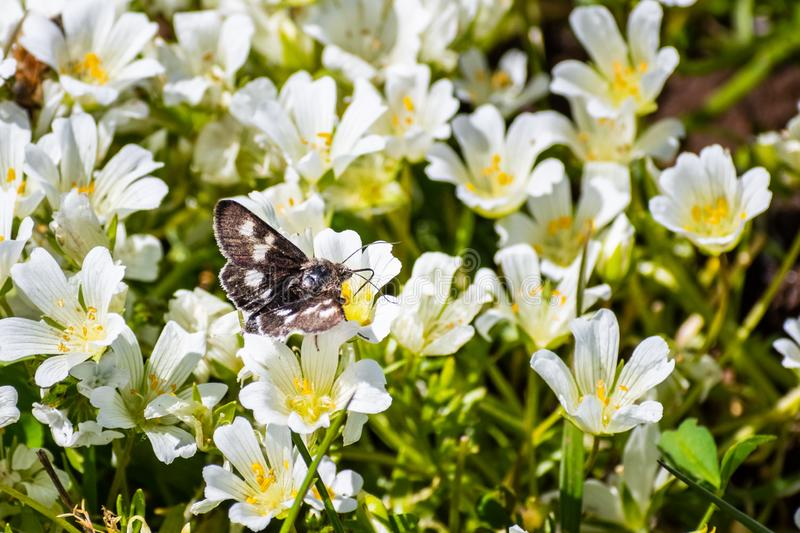 Bia?ego meadowfoam Limnanthes alba kwitnienie przy p??noc sto?u Haln? Ekologiczn? rezerw?, Oroville, Kalifornia fotografia stock