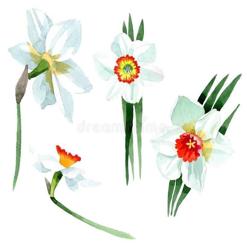 Bia?ego narcyza kwiecisty botaniczny kwiat t?a bazy projekta ustalona akwarela Odosobniony narcyz ilustracji element royalty ilustracja