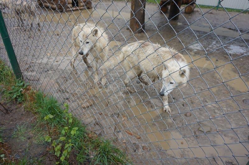 Bia?y biegunowy wilk w zoo obrazy stock