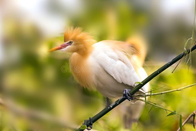 Bia?y byd?a egret znajduj? w bambusowych drzewach nadjeziorny Pokhara Nepal zdjęcia royalty free
