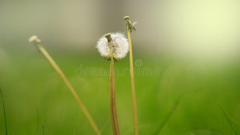 Bia?y dandelion na zielonym tle fotografia royalty free