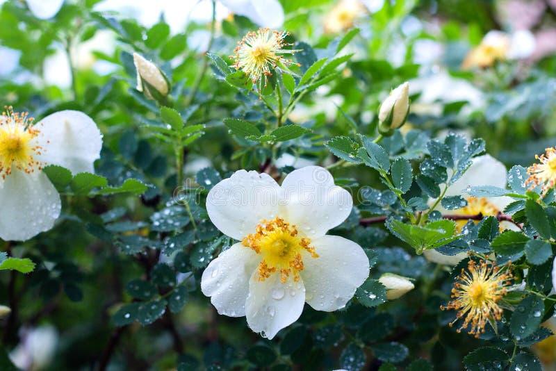 bia?y kwiat dziki wzrasta? na tle li?ci kwiaty w ogr?dzie, wiosna, w g?r? obraz stock