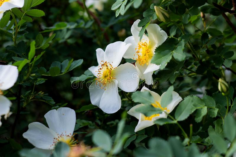 bia?y kwiat dziki wzrasta? na tle li?ci kwiaty w ogr?dzie, wiosna, w g?r? fotografia stock