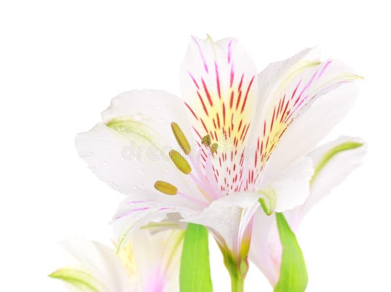 Download Biały Leluja zdjęcie stock. Obraz złożonej z piękny, pączek - 26020422