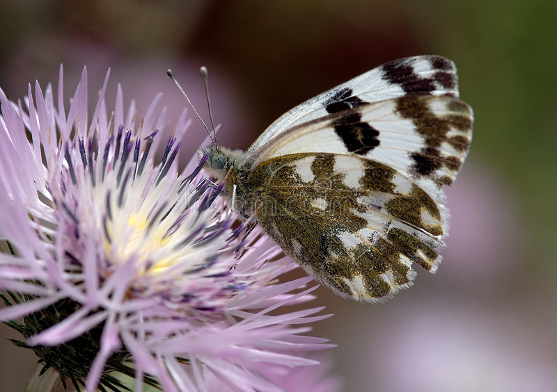 Biały motyl