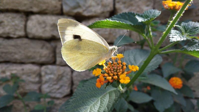 Bia?y motyl na kwiacie fotografia royalty free