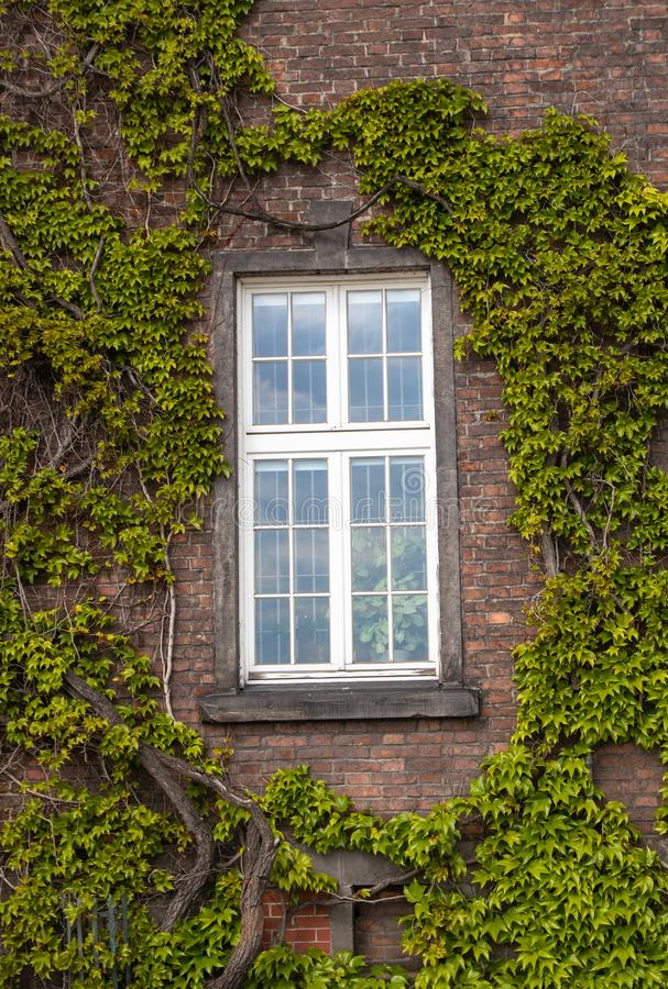 Bia?y okno na ?cianie z cegie? otaczaj?cej z zielonymi lian ro?linami obrazy stock