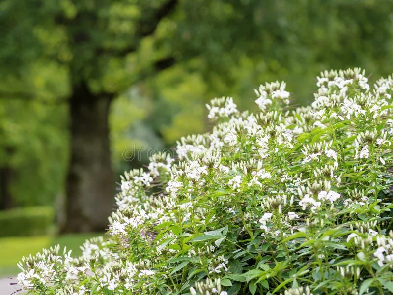 Bia?y paj?k?w kwiat?w Cleome hassleriana kwitnienie zdjęcia stock