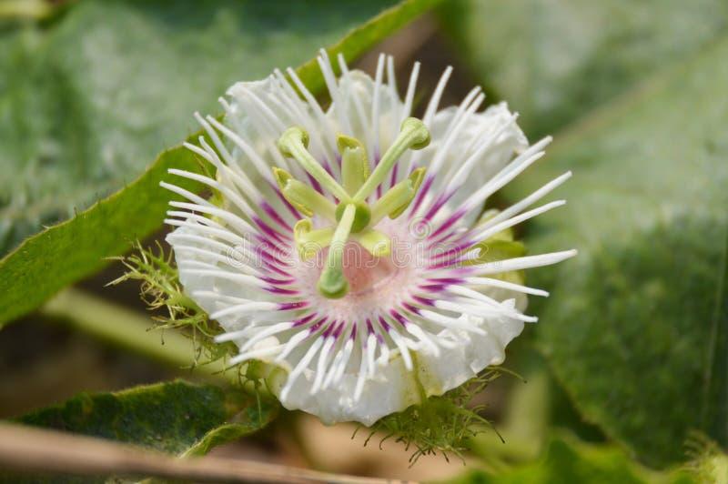 Bia?y passiflora foetida kwiat w natura ogr?dzie obraz royalty free