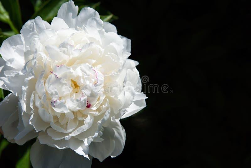 Bia?y peonia kwiat na ciemnym tle Makro- fotografia z niską głębią pole obraz stock