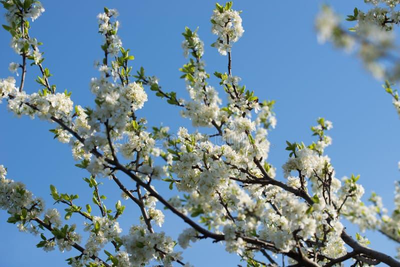 Bia?y prunus avium, dzika wi?nia, s?odka wi?nia lub gean kwiaty na drzewnej ga??zki selekcyjnej ostro?ci, obraz stock