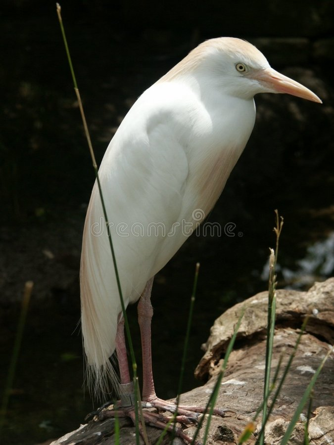 Download Biały ptak zdjęcie stock. Obraz złożonej z jenowie, dziki - 49280