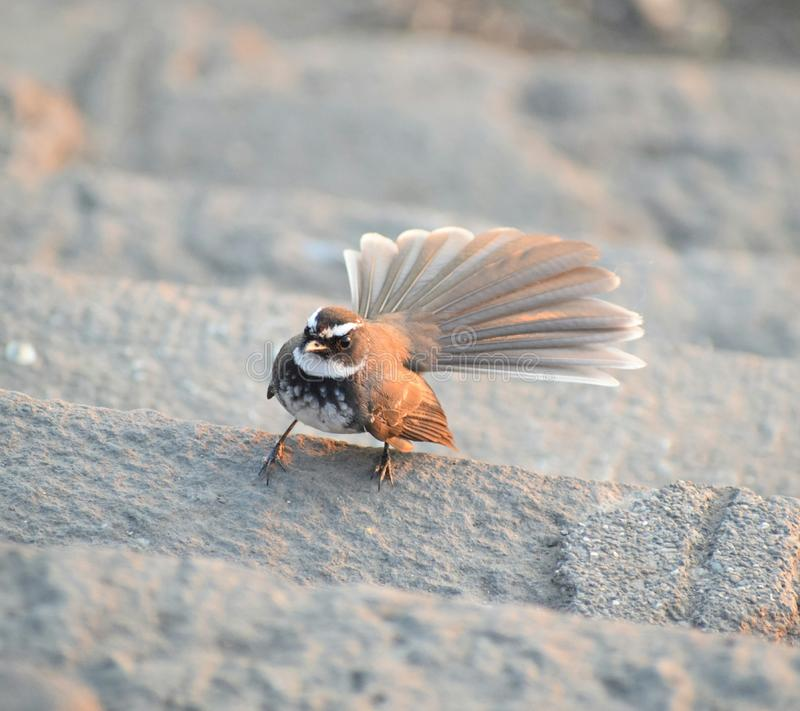 Bia?y throated fantail fotografia stock