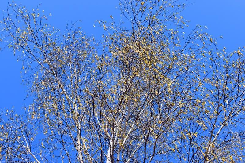 Bia?y topolowy drzewo przeciw b??kitnemu doskonali? niebu w wiosna s?onecznym dniu zdjęcia stock