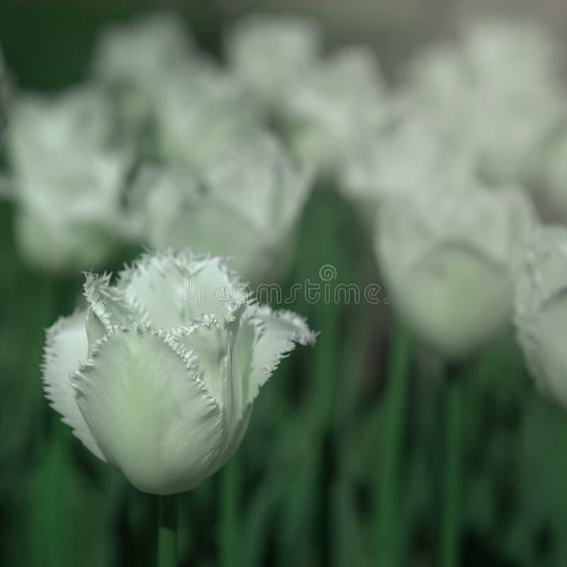 Bia?y tulipan obrazy stock