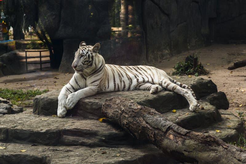 Bia?y tygrys zdjęcia stock