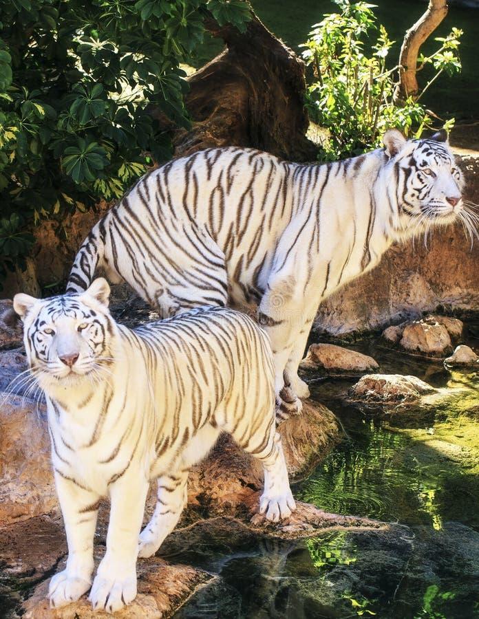 Download Biały Tygrys W Zoo Hiszpania Zdjęcie Stock - Obraz złożonej z zmrok, piękny: 106917794