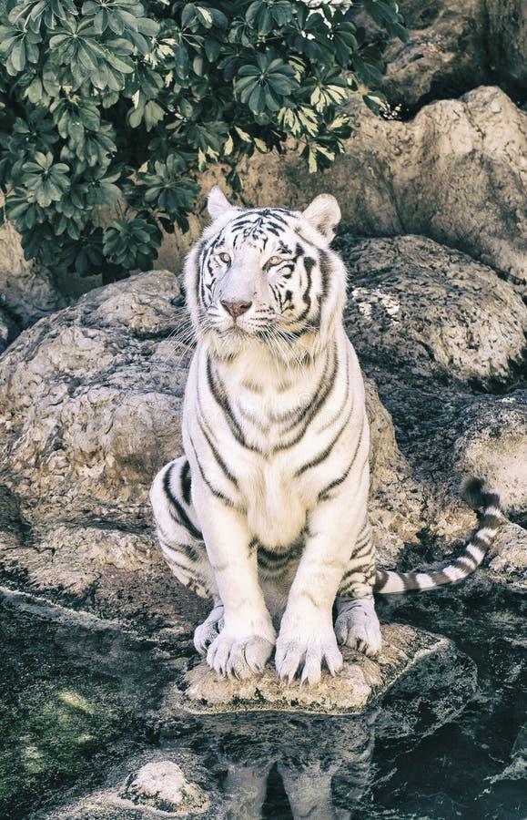 Download Biały Tygrys W Zoo Hiszpania Zdjęcie Stock - Obraz złożonej z siedlisko, bestia: 106918176