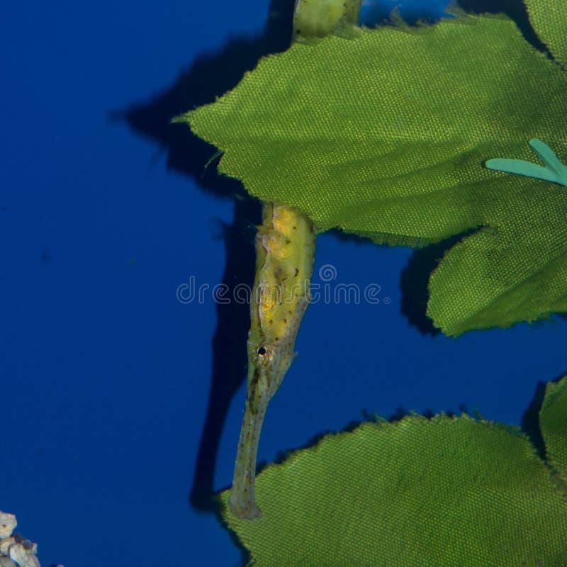 Biaculeatus de Syngnathoides do Pipefish do jacaré fotos de stock royalty free