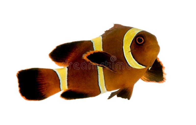 Biaculeatus do marrom Clownfish - do Premnas da listra do ouro imagem de stock