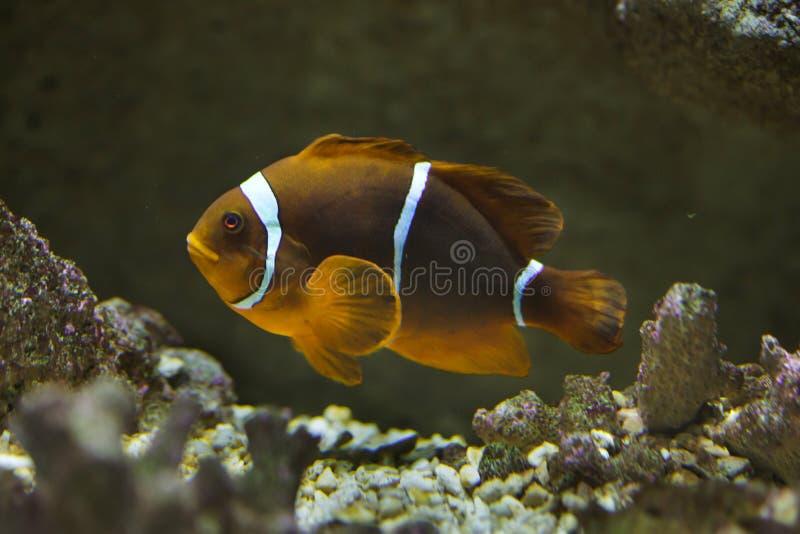 Biaculeatus Premnas anemonefish позвоночника-cheeked стоковая фотография