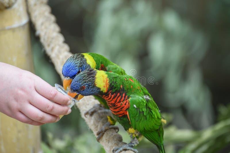 Biak lorikeet, Trichoglossus-haematodusrosenbergii, Rosenbergs-lori Voedende papegaaien Mededeling van kinderen met dieren royalty-vrije stock foto's